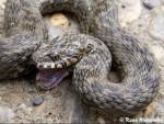 Serpiente Couleuvre - Culebra Macho (1 año)