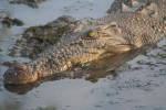 Cocodrilo crocodil - Cocodrilo Macho (13 años)