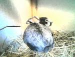 Conejo Night - Macho (3 meses)