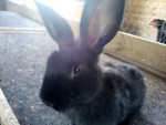 Conejo pinou - Macho (3 años)