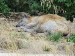 Hiena hyene -  (Acaba de nacer)