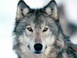 Lobo WolfBlood - Macho (1 año)