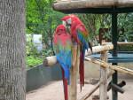 Loro perroquet -  (Acaba de nacer)