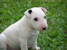 Perro Boris - Macho (1 año)