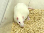Rata Darkus - Macho (11 meses)