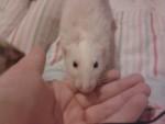 Rata chuck - Macho (3 años)