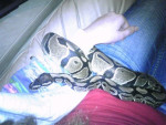 Serpiente Persephone -  Hembra (2 años)