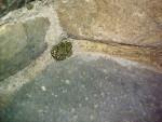 grenouille -