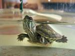 Tortuga Ninfea -   (2 años)