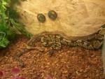 Serpiente mes trois pythons -   (Acaba de nacer)