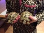 Tortuga Honna and Tony -  Macho (4 años)