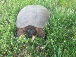 Tortuga Snapping turtle -   (Acaba de nacer)