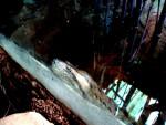 Serpiente Anaconda -   (Acaba de nacer)