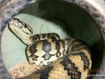 Serpiente Moriko -  Hembra (3 años)