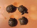 Nos 4 bébés tortues - (1 mes)