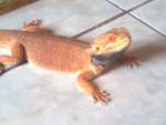 Serpiente Naruto(Pogona) -  Macho (2 años)