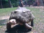 Tortuga tortue -   (Acaba de nacer)